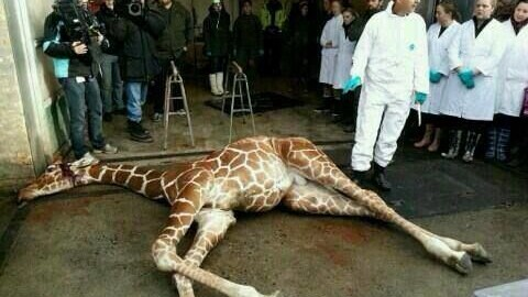"Marius killed to prevent ""in-breeding"""